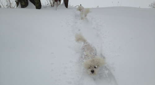 White Dogs in the snow